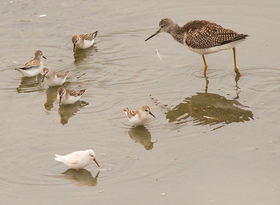 Western Sandpiper leucistic Greater Yellowlegs  San Luis Rey Oceanside 2015 08 26-1.CR2