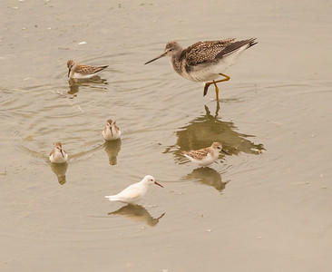 Western Sandpiper leucistic Greater Yellowlegs  San Luis Rey Oceanside 2015 08 26-2.CR2