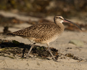 Whimbrel  Cardiff Beach 2013 04 18 (1 of 1).CR2
