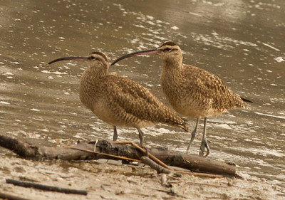 Whimbrel  Batiquitos Lagoon 2012 11 30 (2 of 3).CR2