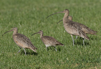 Whimbrel Long-billed Curlew Rossmoor 2019 01 09-1-4.CR2