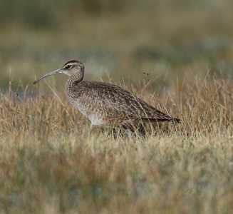 Whimbrel  Crowley Lake 2014 04 24-1.CR2