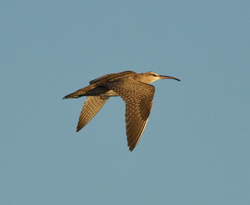 Whimbrel Cardiff Beach 2013 09 23-2.CR2