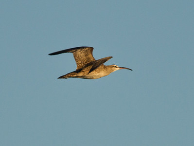 Whimbrel Cardiff Beach 2013 09 23.CR2