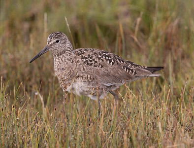 Willet  Crowley Lake 2016 05 26-4.CR2