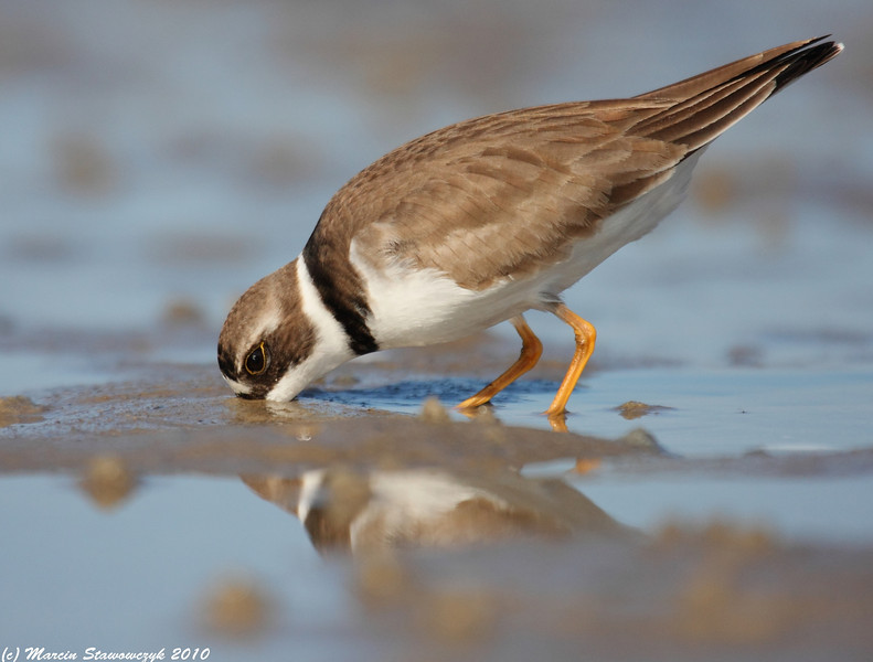 Plover at low tide