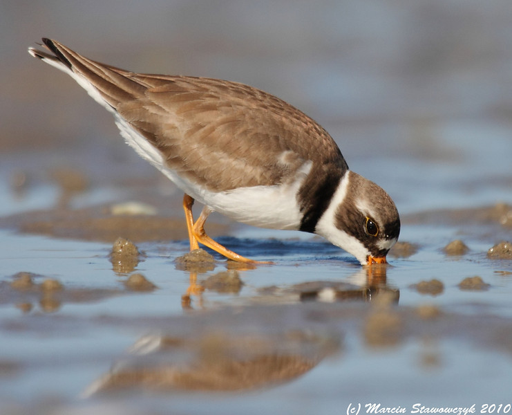 Plover in action