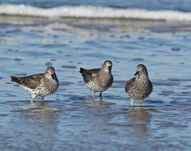 Surf Bird  Cardiff Beach 2013 04 18 (8 of 8).CR2 (1 of 1).CR2