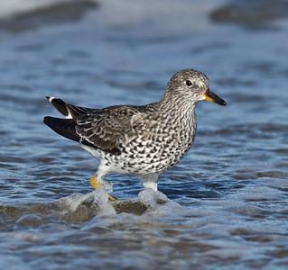 Surfbird  Cardiff Beach 2013 04 18 (4 of 8).CR2 (1 of 1).CR2