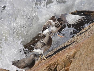 Ruddy Turnstone Surfbird  Oceanside  2012 01 04 (1 of 1).JPG
