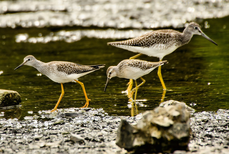 Stilt Sandpiper (Calidris himontapus) along with GYL and LYL<br /> The one in middle is Stilt Sandpiper