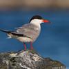 Posing tern