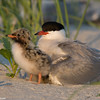 Tern with a chick