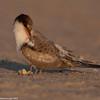 Preening juvenile tern