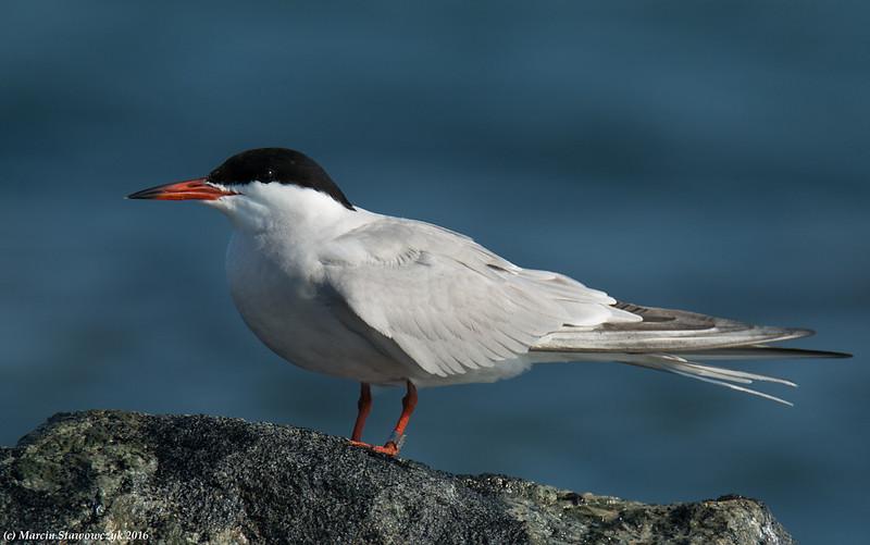 Tern on the rock
