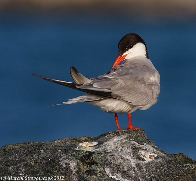 Preening tern