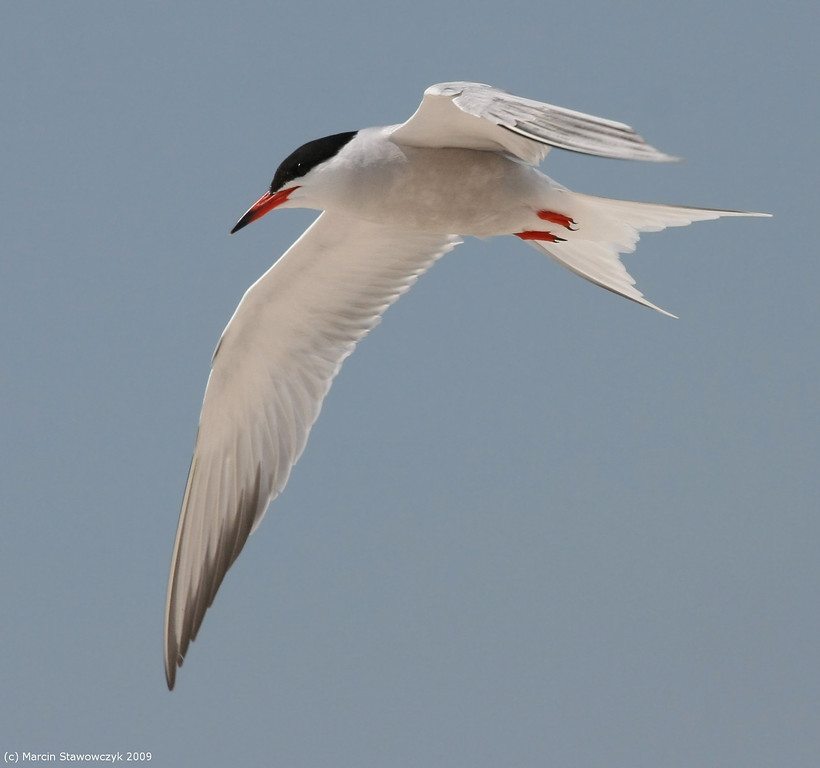 Tern in grey