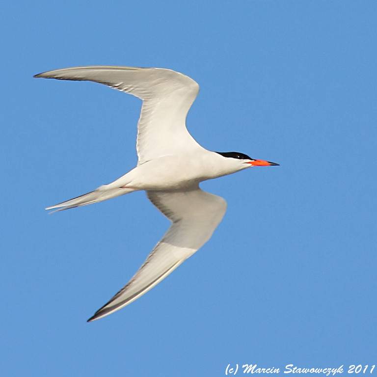 Common tern flying in the blue sky