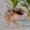 Walking chick