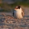 Posing young tern