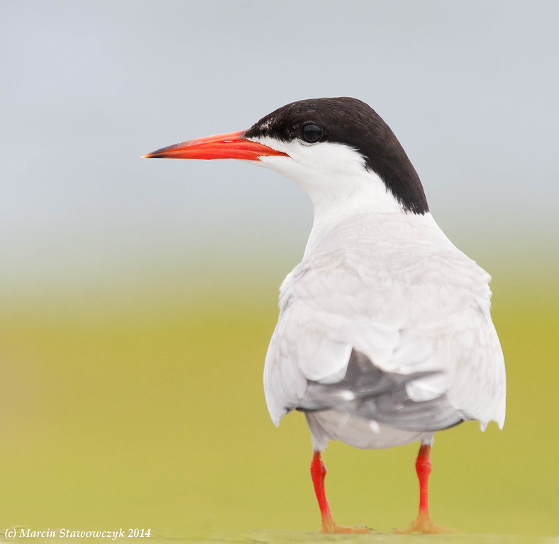 Tern from the back