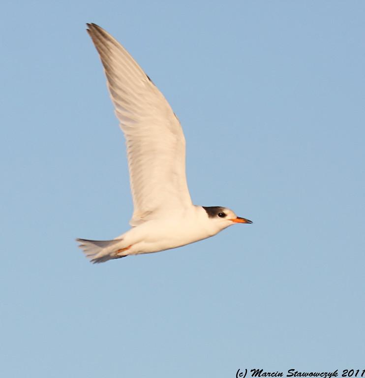 Portrait of flying juvenile common tern