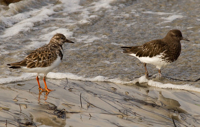 Black Turnstone Ruddy Turnstone  Cardiff Beach 2011 11 15 (2 of 3).CR2