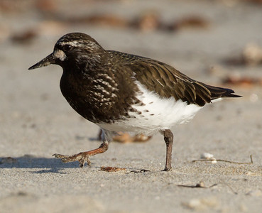 Black Turnstone Cardiff Beach 2014 04 14-4.CR2