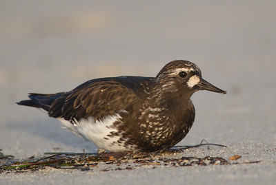 Black Turnstone  Cardiff Beach 2014 04 09 (2 of 6).CR2