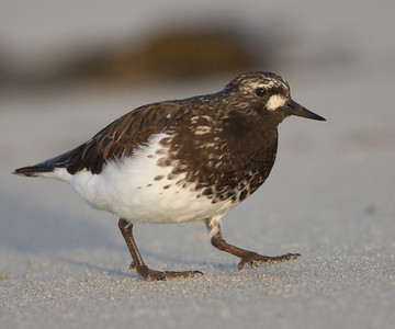 Black Turnstone  Cardiff Beach 2014 04 09 (3 of 6).CR2
