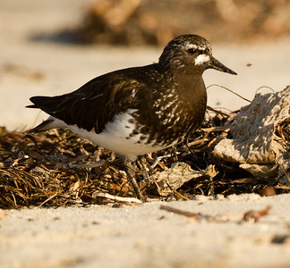 Black Turnstone Cardiff Beach 2014 04 14-3.CR2
