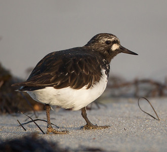 Black Turnstone  Cardiff Beach 2014 04 09 (6 of 6).CR2