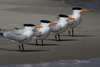 Royal Tern Lineup