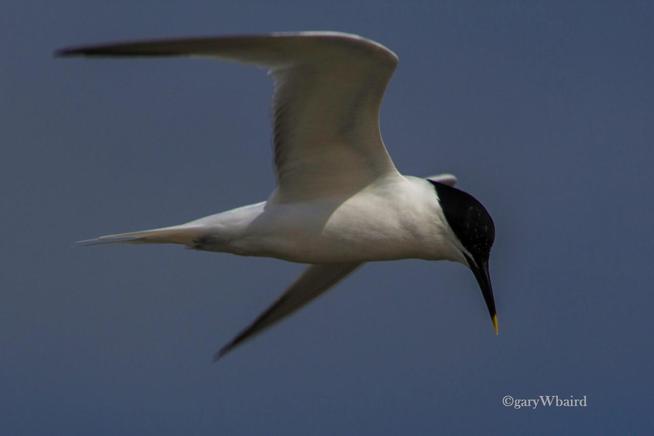 Sandwich Tern Flight