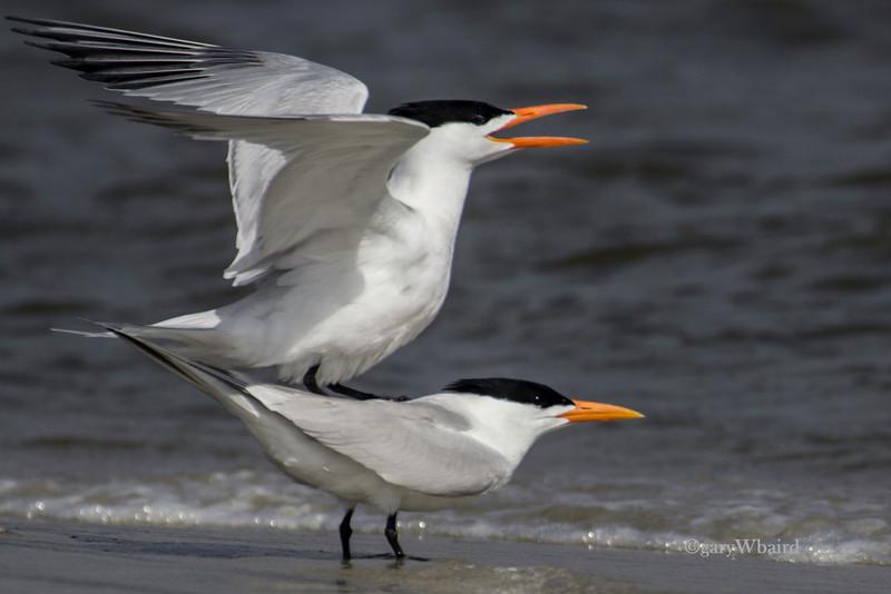 Royal Tern Mating Behavior
