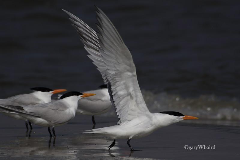 Royal Tern Lift-off