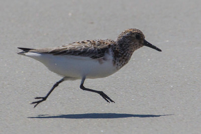 Mid-air Sanderling