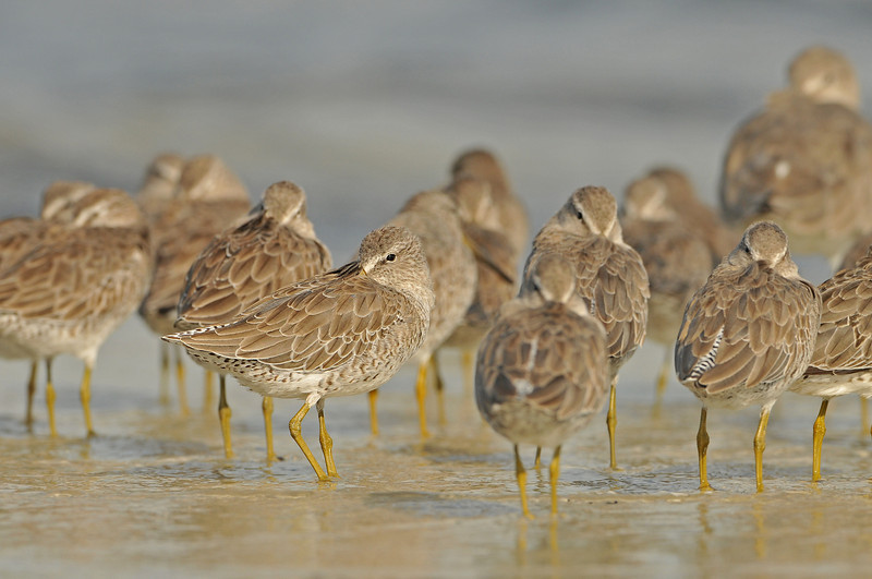 Short-billed Dowitcher (Limnodromus griseus) - Willet in upper right