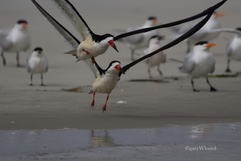 Black Skimmer Lift-off