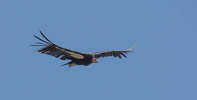Condor, Big Sur