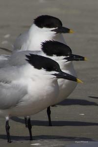 Sandwich Tern Trio