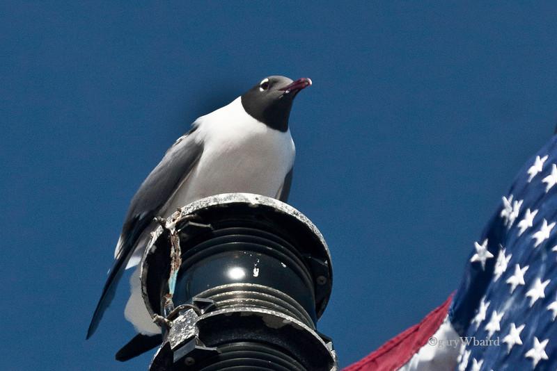 Patriotic Gull