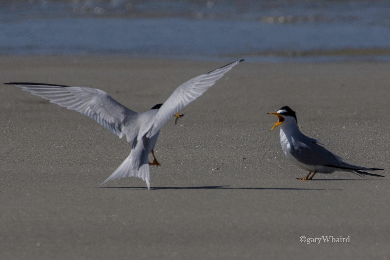 Least Tern Feeding Time