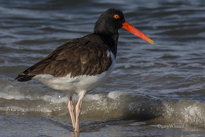Oystercatcher and Foam
