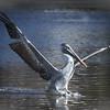 Pelican, Mouth of San Lorenzo River