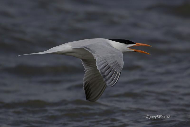 Royal Tern Flight