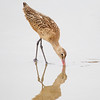 Marbled Godwit Probing in Wet Sand
