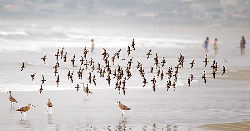 Flock of Sanderlings Flying at Beach
