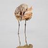 Marbled Godwit Preening