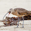 Long billed Curlew Swallowing Sand Crab